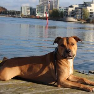Hunden Samson