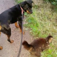 Tigra & Zorro på promenad