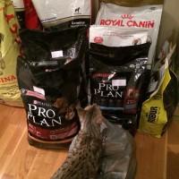 Katt undersöker hundmat