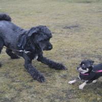 Mishi har lekintresse med andra hundar!